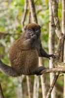 lemure in madagascar foto