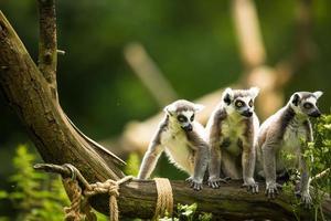 lemure kata (lemure catta) foto