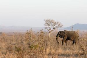 elefante africano, loxodonta africana