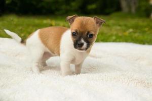 cucciolo della chihuahua su una coperta nell'erba foto