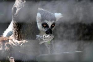 scimmia in gabbia foto