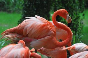 rosa fiammeggiante foto