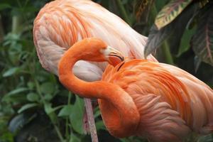 due fenicotteri caraibici foto