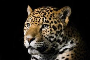 giaguaro foto