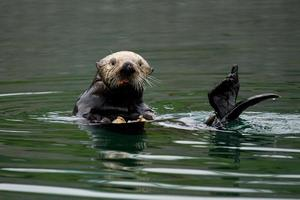 pranzo di lontra di mare foto