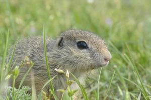 scoiattolo di terra europeo (spermophilus citellus) in habitat naturale, alimentazione