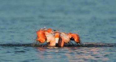 fenicotteri caraibici fare il bagno foto