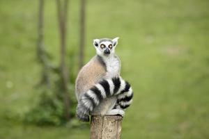 Lemure seduto su un tronco divertente fissando lo sguardo fisso foto