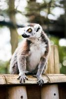 Lemure dalla coda ad anelli. foto