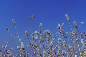 cresta di gallo d'argento, piume di fenicottero, celosia di grano, foto