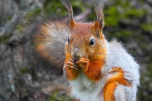 scoiattolo selvatico della foresta con un nutlet in pastiglie. foto
