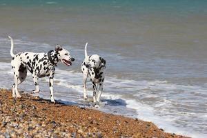 due dalmati sulla spiaggia foto