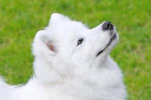 cane samoiedo foto