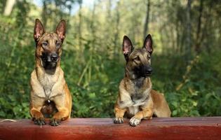 cani da pastore malinois foto