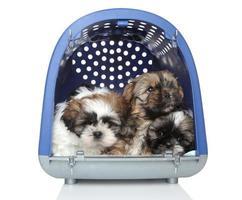 cuccioli di shih tzu in trasportatore di plastica su fondo bianco