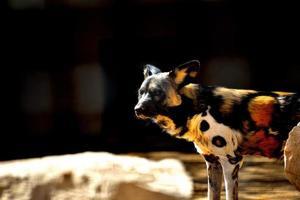 cane selvatico foto