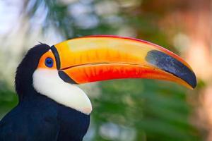 tucan colorato foto