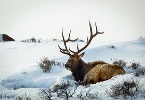 un alce di montagna rocciosa che giace nella neve in una giornata invernale