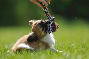 cucciolo di chihuahua gioca con il giocattolo in mano donna foto