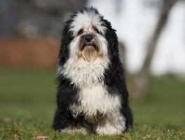 cane havanese all'aperto in natura foto