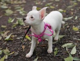 cucciolo bianco di chihuahua nella foresta di autunno