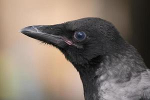 ravvicinata del corvo in su