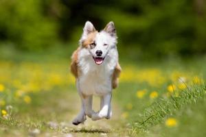 cane pastore islandese all'aperto in natura foto