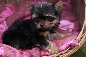 cucciolo di yorkshire terrier foto