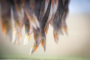 code di pesce persico foto