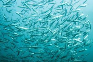 branco di sardine foto