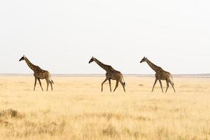 tre giraffe a piedi attraverso il terreno erboso. foto