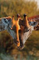 giraffa foto