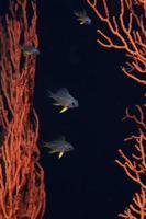 chromis pale-tail giovanile (castagnole) foto