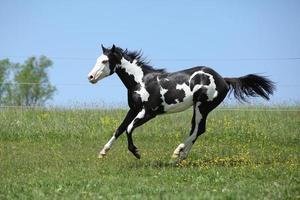 splendido stallone bianco e nero di cavallo da corsa in esecuzione