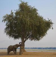 toro dell'elefante africano (loxodonta africana) che spinge albero foto