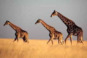 trio di giraffe nella luce del tramonto foto