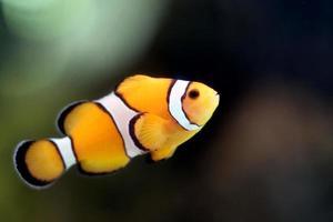 pesce pagliaccio nella zona del mare di barriera corallina. foto