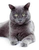 gatto maltese dagli occhi verdi noto anche come il blu britannico foto