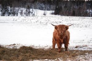 mucca dell'altopiano foto