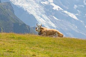 mucca svizzera foto