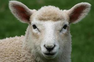 primo piano delle pecore foto