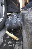 piccioni nella grondaia foto