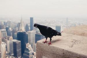 colomba sul tetto foto