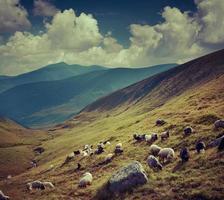 gregge di pecore in montagna.