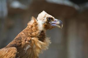 profilo dell'avvoltoio monaco