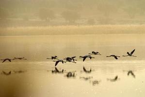 fenicotteri (phoenicopterus) a laguna de calderon, morale di calatrava. foto
