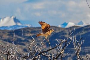 pregare uccello nel parco nazionale torres del paine, Cile
