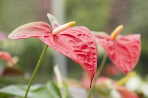 Anthurium rosso, fiore di fenicottero da vicino. foto