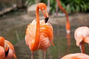 vicino fenicottero caraibico rosa di vita selvaggia foto