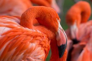kubaflamingo phoenicopterus ruber foto